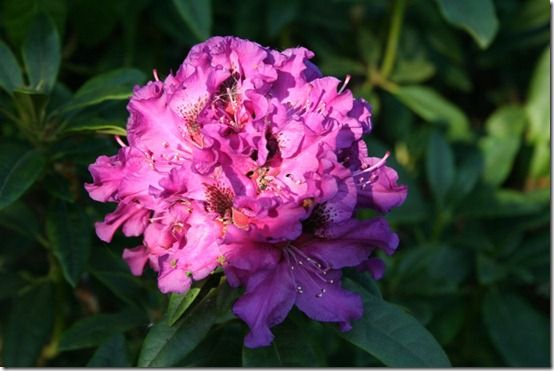 Rhododendron Colonel Coen' single