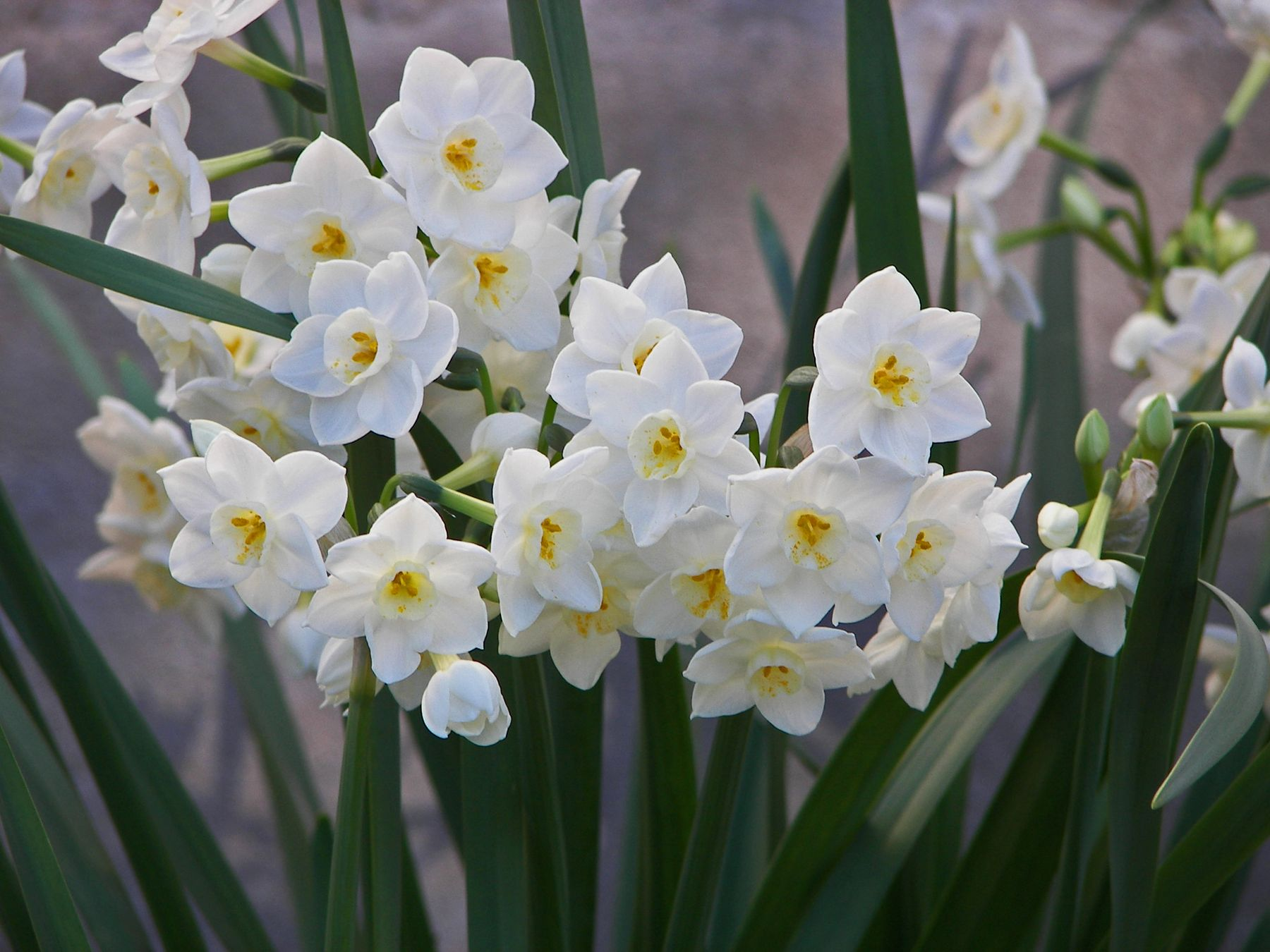 The Most Fragrant Narcissi Gardening