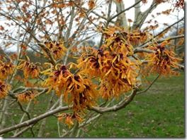 Hamamelis x intermedia 'Orange Peel'