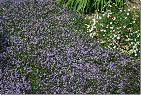 Thymus serphyllum and erigeron in gravel