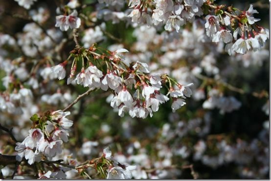 7. Prunus 'Kojo no Mai'