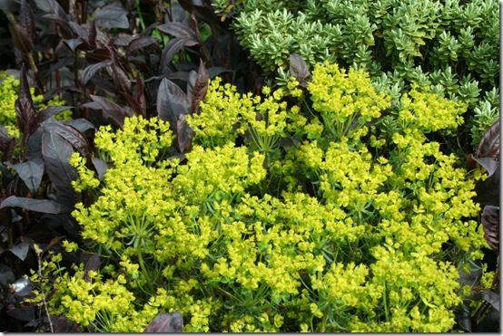 Euphorbia 'Fens Ruby'