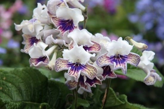 10 Streptocarpus-