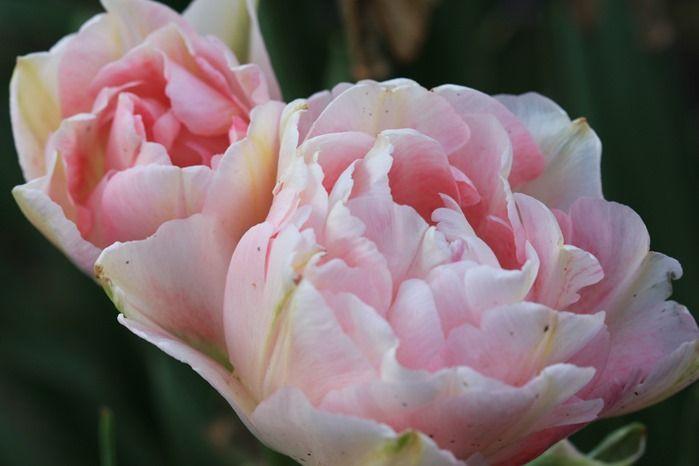 6 Tulipa 'Angelique'