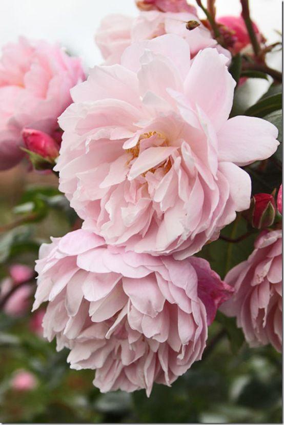 Roses at RHS Wisley Flowerona