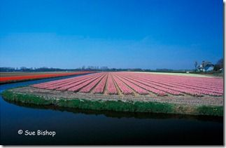 hyacinth field - wide angle
