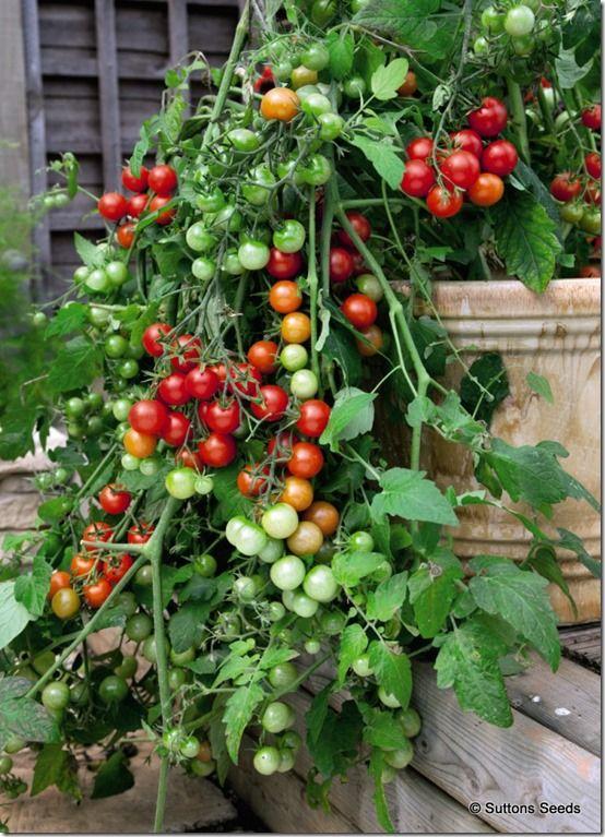 Tomato Lizzano<br /> <br>Suttons