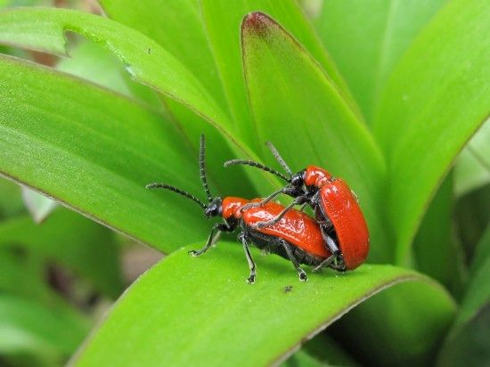 5 Lily beetle