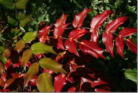 Mahonia japonica foliage