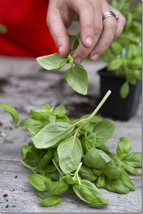 Making basil plants from supermarket plant<br />
