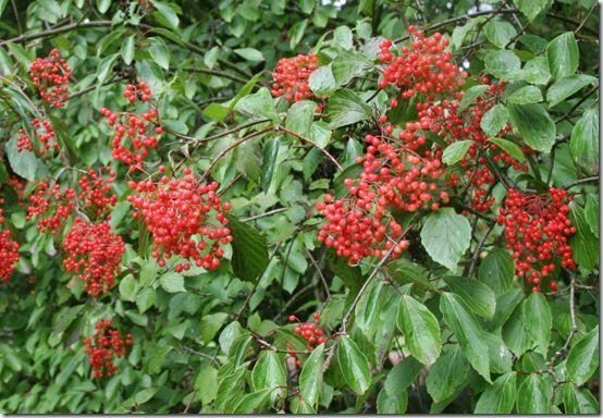Viburnum-betulifolium