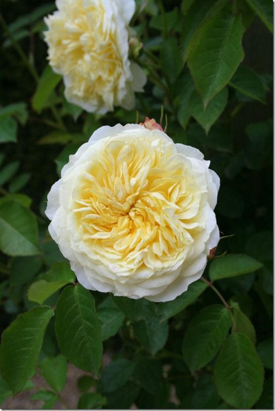 Rosa 'The Pilgrim' - Mfont