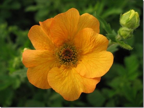 Geum Totally Tangerine