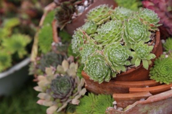 Sempervivums in stressed terracotta