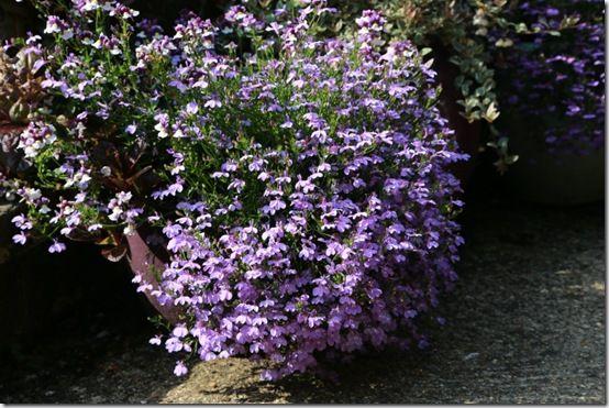 4 Lobelia 'Laguna Lilac