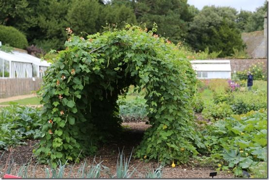 Runner bean tunnel
