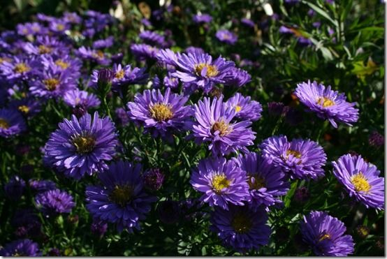 Aster 'Sapphire' 2