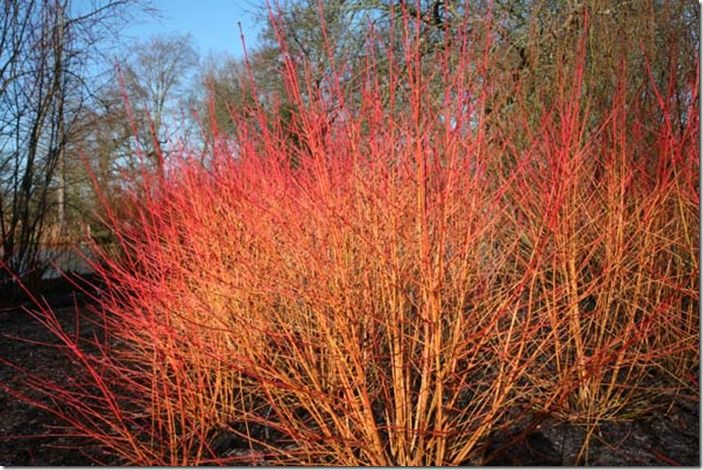 5 Cornus 'Midwinter Fire'