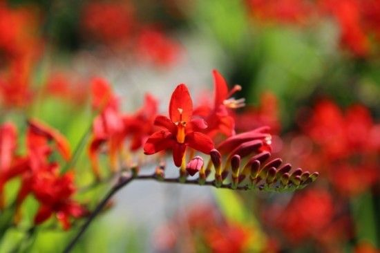 Crocosmia 'Lucifer