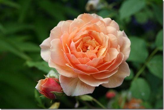 Rosa 'Grace' 12