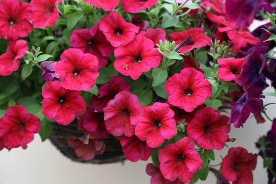 8 Petunia F1 Easy Wave Berry Velour