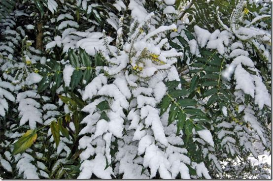 Mahonia in snow