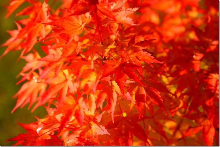 8 Acer palmatum 'Sango-Kaku Autumn