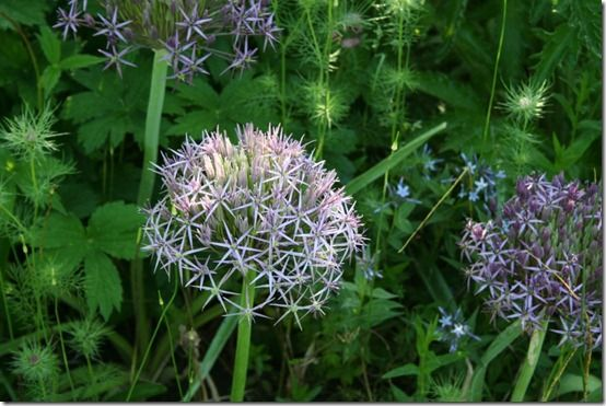 Allium christophii - pale