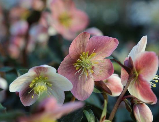 Helleborus x ericsmithii (