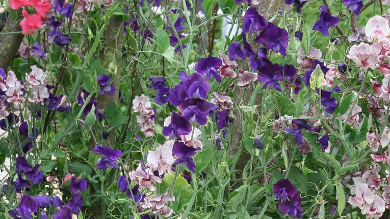 How To Grow Amazing Sweet Peas Gardening Learning With Experts