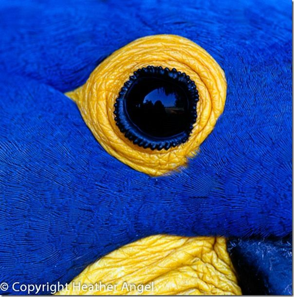 Eye of hyacinth macaw