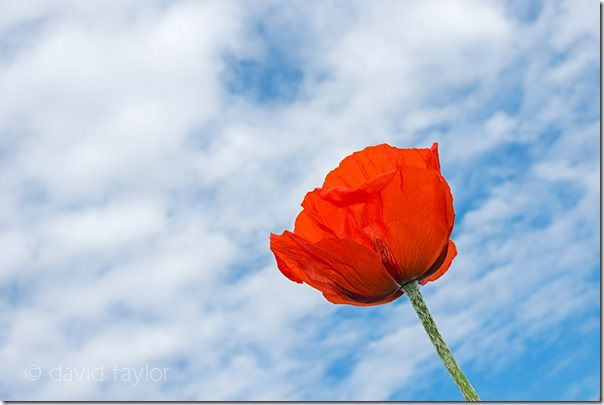 Close-up of a poppy growing in a pasture field near Bamburgh, Northumberland, England