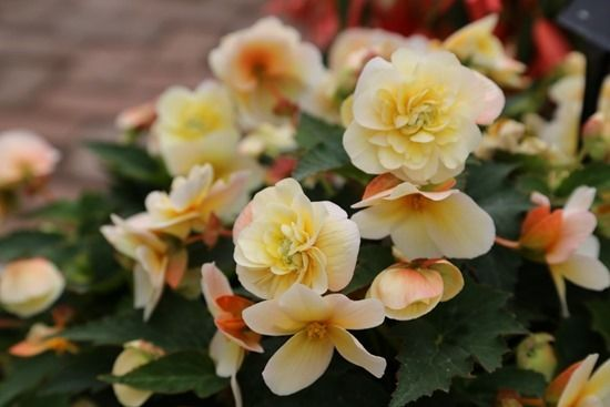 5 Begonia Sweet Spice Citrus