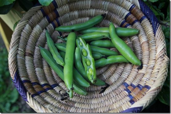 3 Freshly picked Broad Beans
