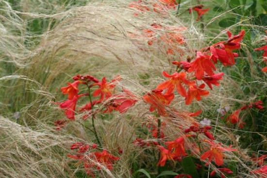 2 Crocosmia and  stipa 2