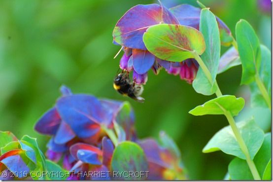 4 Cerinthe major 'Purpurascens'