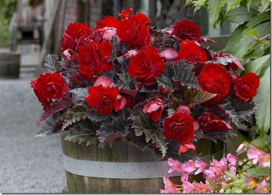 Tub of double begonias