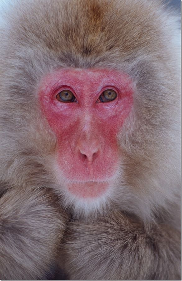 Snow monkey Japanese macaque, Autofocus, AF, AF modes, AF point, AF-S, AF-C, Servo, Back button focussing,