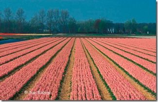 hyacinth field - telephoto