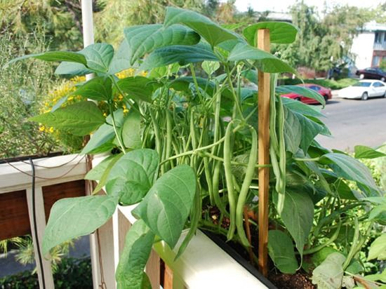 6 Haricot beans in balcony trough