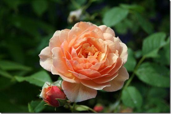 Rosa 'Grace' 10