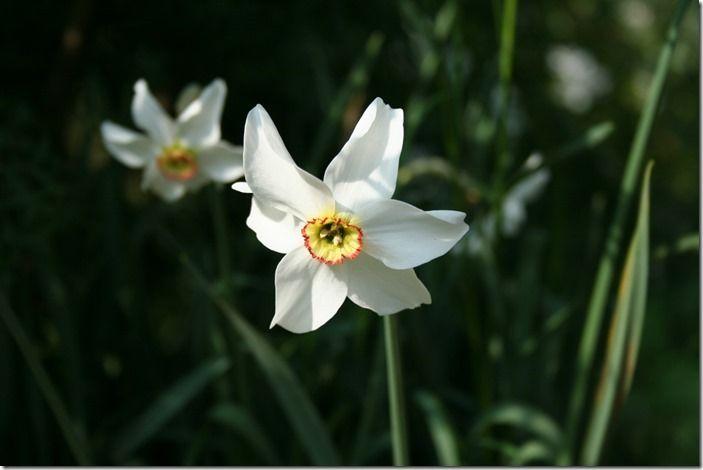 3 Narcissus poeticus