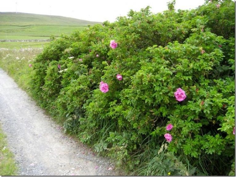 8 Rosa rugosa