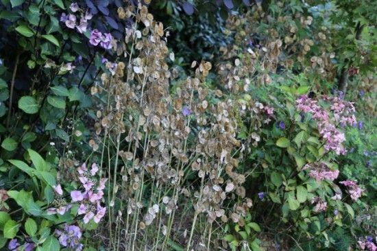 5 Lunaria seedheads (640x427)