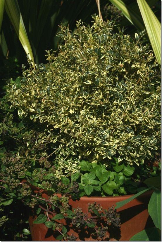 Buxus sempervirens 'Elegantissima' in pot