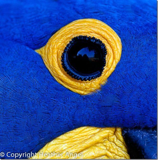 Eye of hyacinth macaw