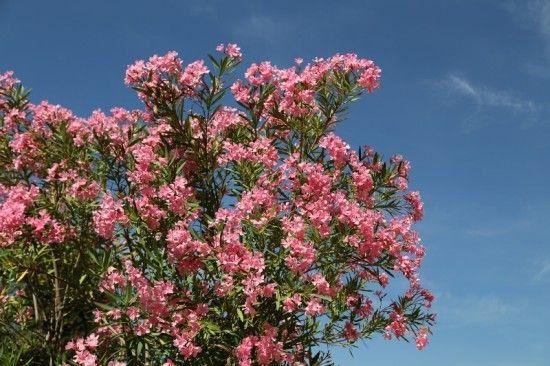 2 Nerium oleander (800x533)