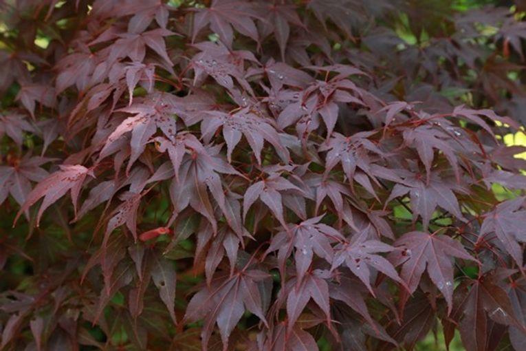 12  Acer palmatum 'Bloodgood'