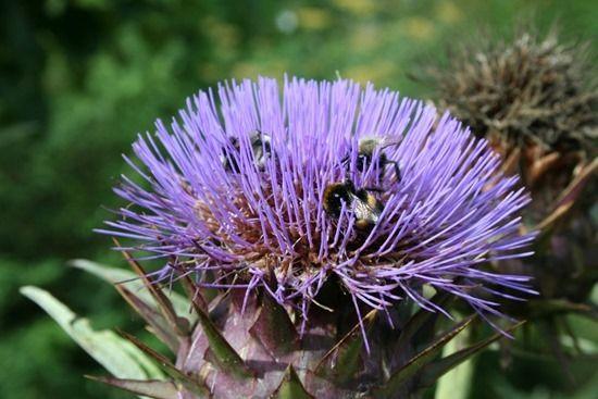 4 Cynara cardunculus with bees (1024x683)