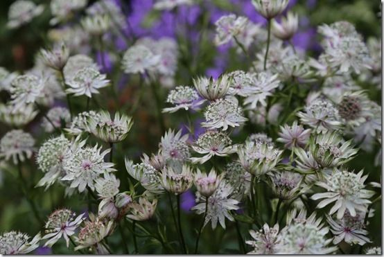 Astrantia major, 10 Great Perennials To Grow For Cutting